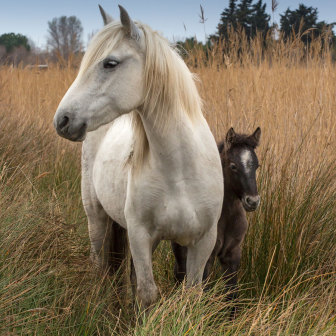 Camargue Mare with Foal