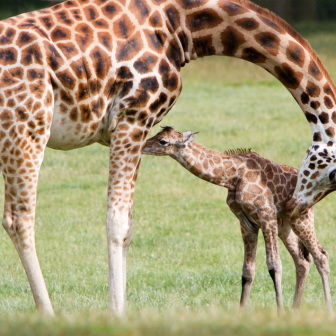 Mother Giraffe with Newly Born Calf