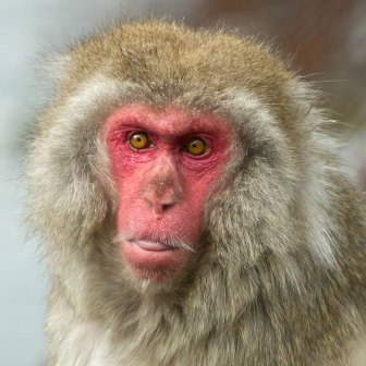 Japanese Macaque, snow monkey
