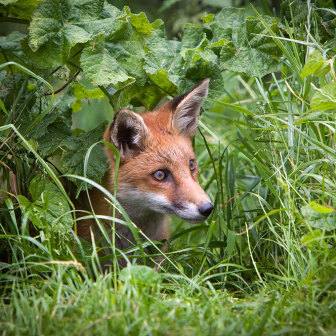 British Wildlife, Fox Cub peeping through long grass