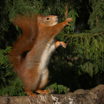 British Wildlife, Red Squirrell standing up