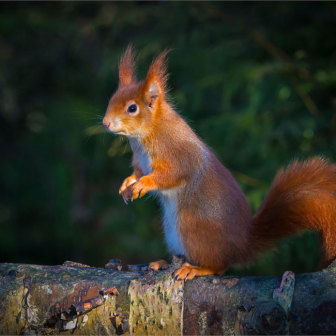 British Wildlife , Red Squirrel