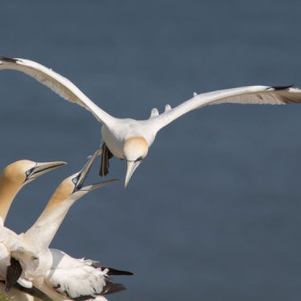 Gannets by the Sea at Bempton Cliffs Yorkshire UK