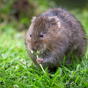 British Wildlife, Water Vole eating daisy