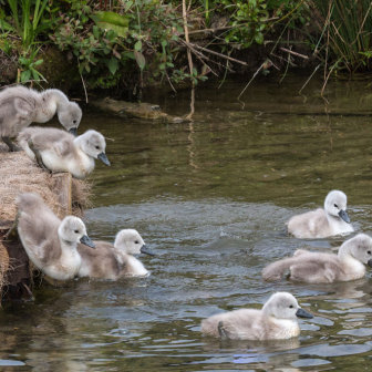 Cygnets jumping in pond