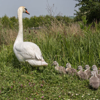 Follow the Leader - Swan with Cygnets