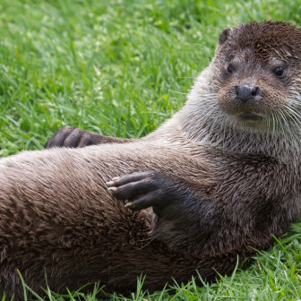 British Wildlife, European Otter
