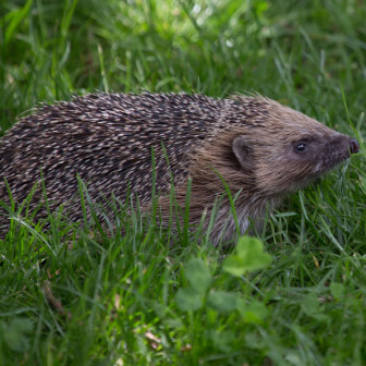 British Wildlife, Hedgehog