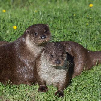 British Wildlife, European Otters, two