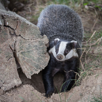 British Wildlife, Badger