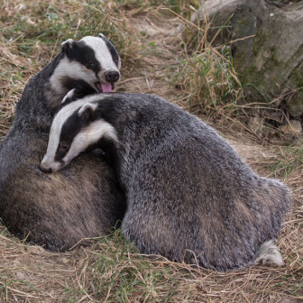 British Wildlife, two Badgers