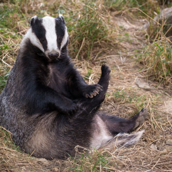 British Wildlife : Badger