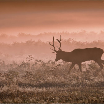 British Wildlife, Stag at Sunrise, Bushy Park, London