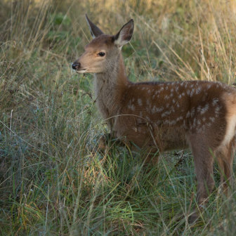 British Wildlife, Young Fallow Deer on the Isle of Mull