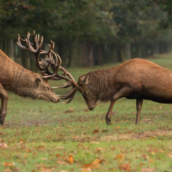 British Wildlife, Stag Fight at Bushy Park, London