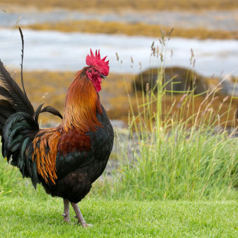 Cockerel Rooster by the sea Isle of Mull Scotland Bird