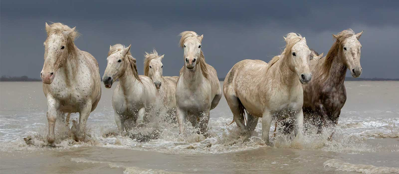 Group of Camargue Horses  - Storm Brewing