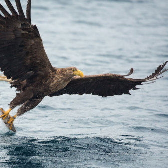 White-Tailed Sea Eagle Catching Fish on the Isle of Mull Scotland