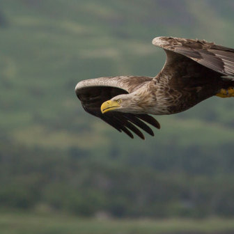 White-tailed Sea Eagle in flight on the Isle of Mull, Scotland