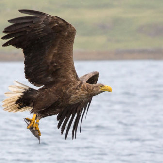 White-Tailed Sea Eagle catching fish on the Isle of Mull, Scotland