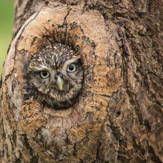 Little Owl peeping through hole in tree