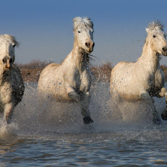 Three Camargue Horses