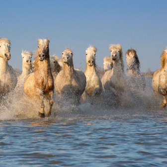 Group of Camargue Horses