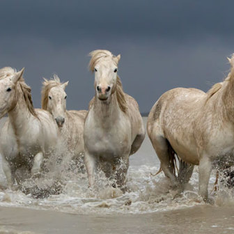 Camargue Horses, Home before the storm